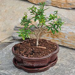 Miniature Gardening Dwarf Pomegranate Bonsai Tree