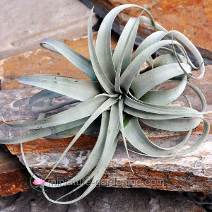 Air Plant Miniature Gardening