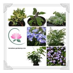 Fairy Garden Plants miniature-gardening