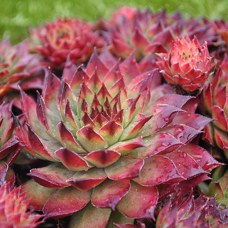 Hen and Chicks Montfort