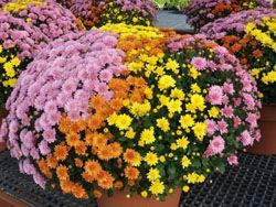Fall Annual Mums