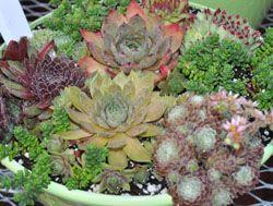 Perennial Succulents