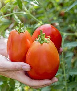 Big Mama Tomato