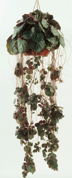 Saxifraga Strawberry Begonia