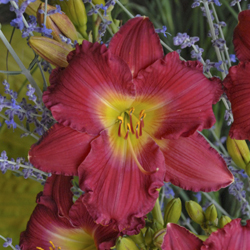Hemerocallis Romantic Returns