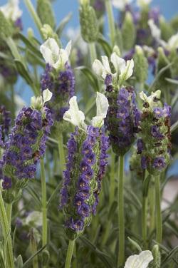 Lavender New Madrid Blue