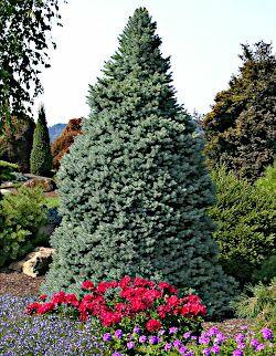 Dwarf Blue Spruce Picea Sester