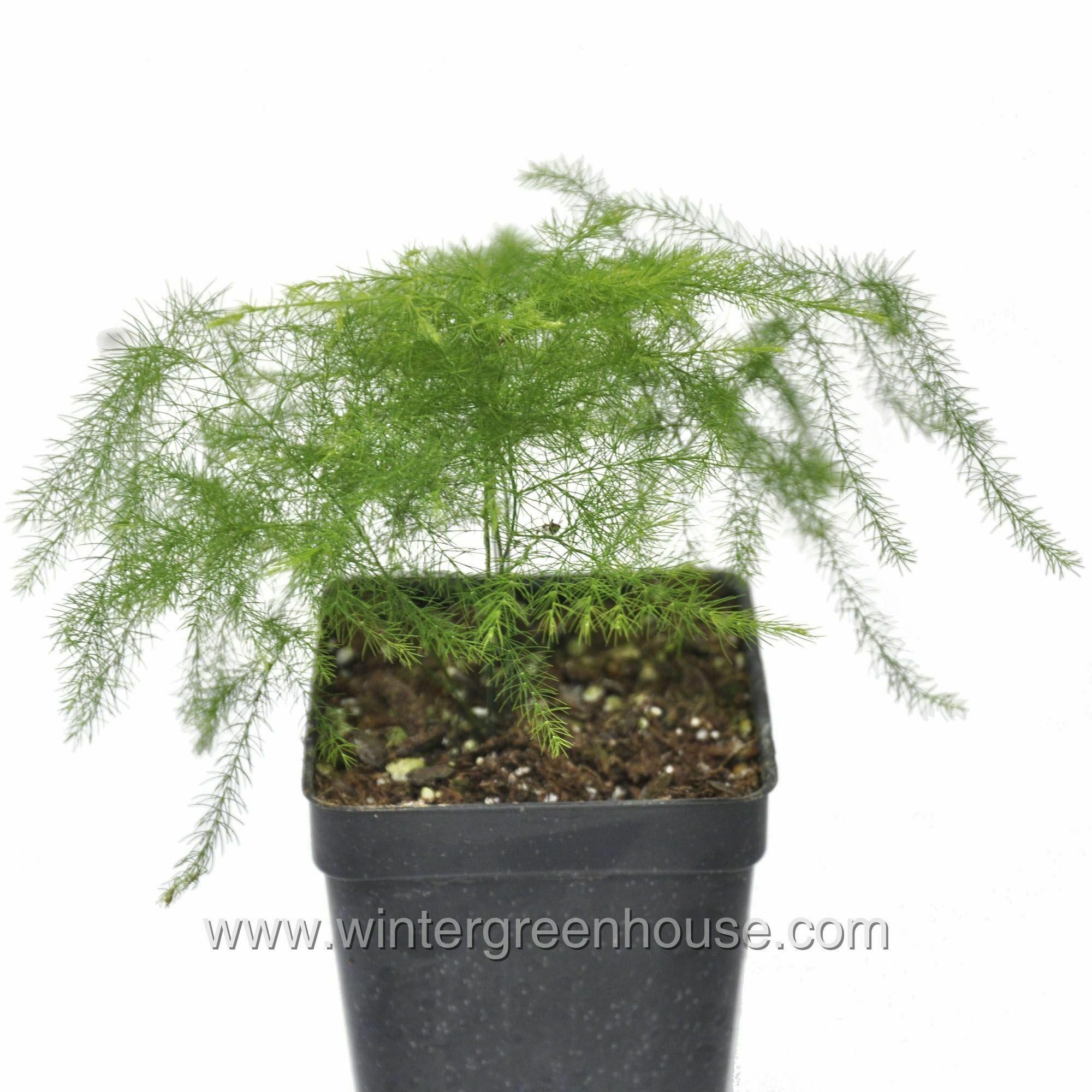 Miniature Gardening Asparagus Asparagus Plumosa Nanus 14 99