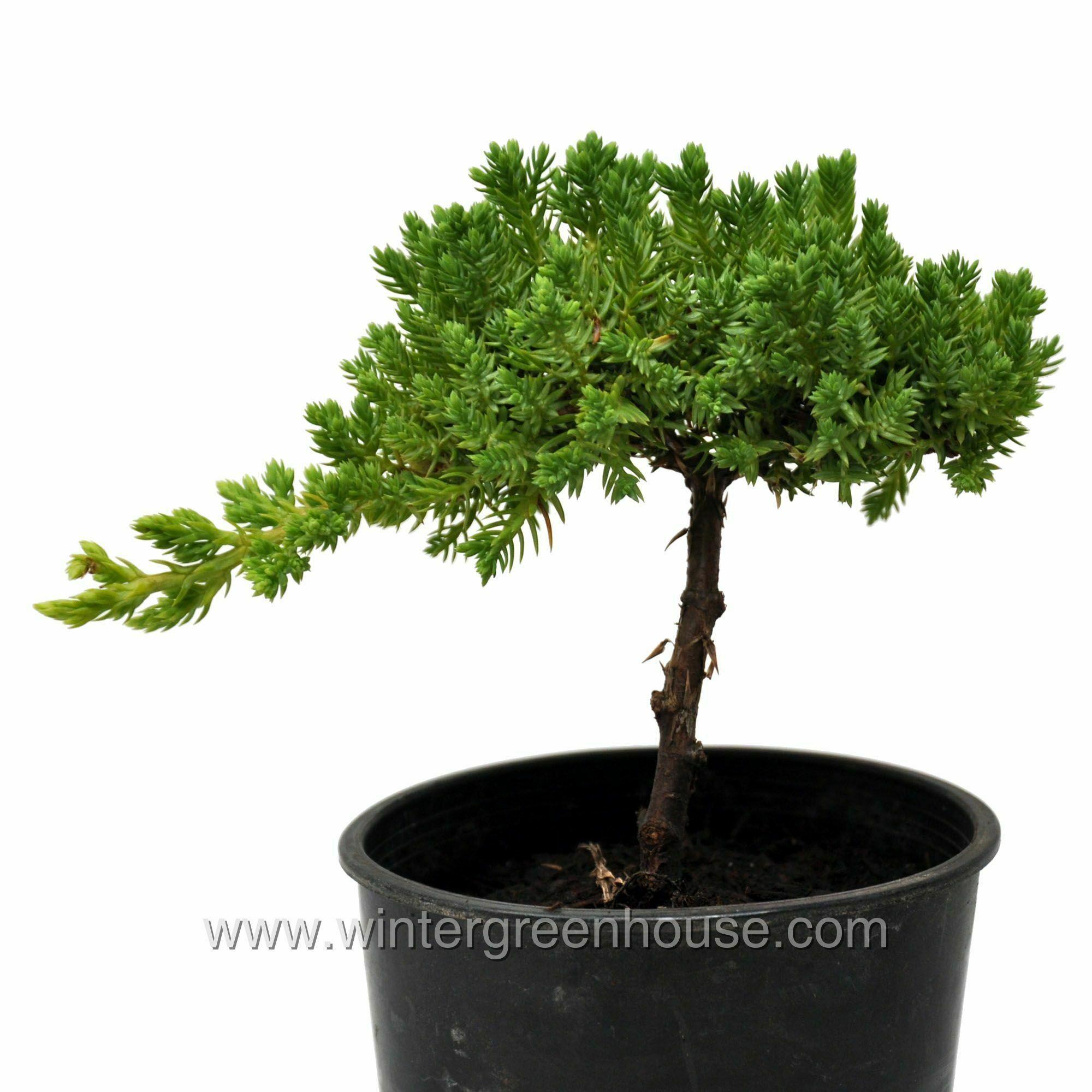 Miniature Gardening Juniperus Procumbens Nana Pre Bonsai 19 99