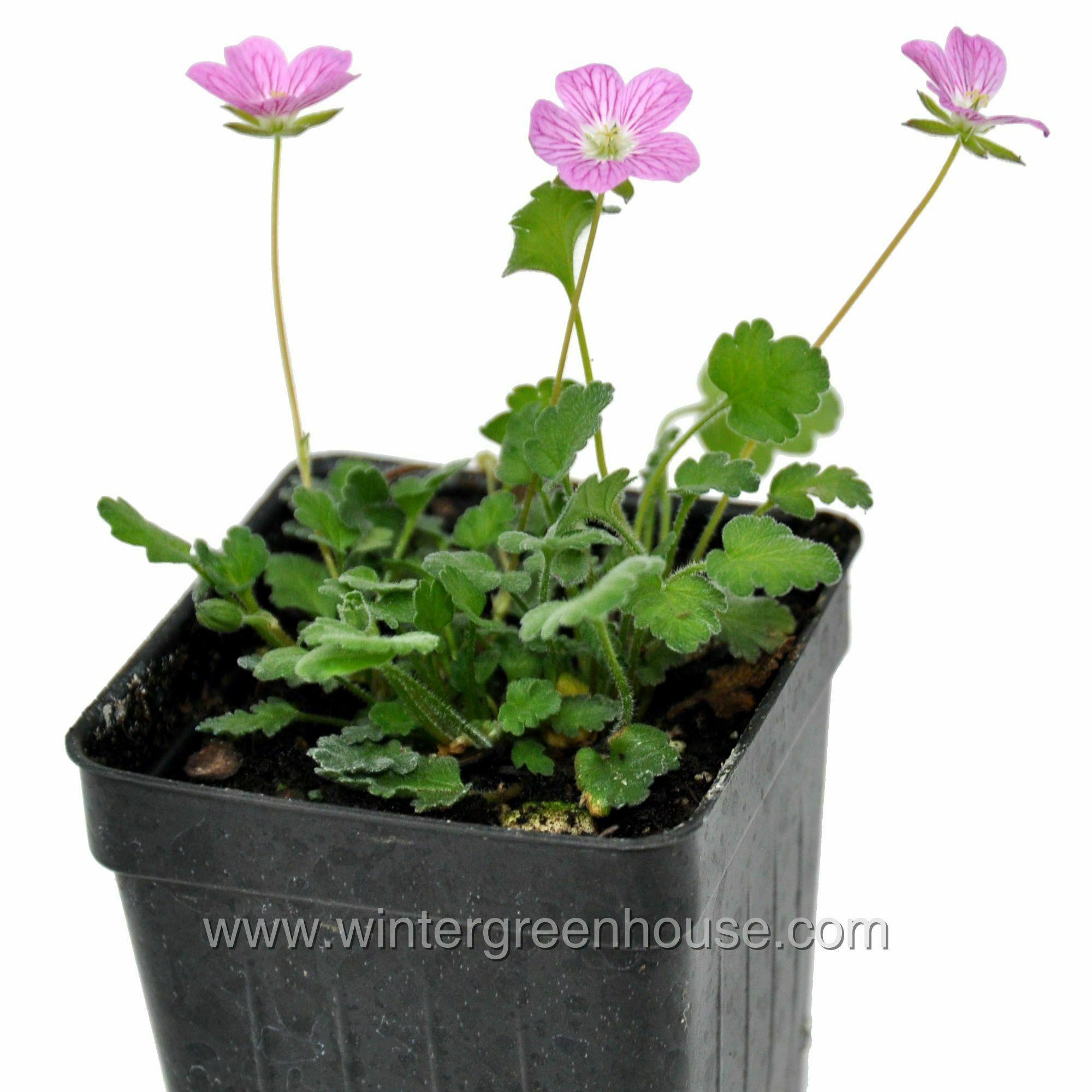 Miniature Gardening Erodium Variabile Bishop Form 6 99