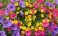 Purple and pink Petunia with yellow Calibrachoa