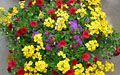 Yellow Nemesia, red Calibrachoa and purple Ageratum