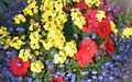 Yellow Nemesia, red Petunia and blue Lobelia