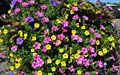 Pink and purble Petunias, yellow Calibrachoa and Ipomoea