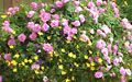Pink double Impatiens and yellow Bidens