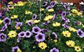 Purple Petunia and Verbena with yellow Osteospermum