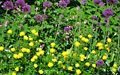 Trollius and Allium