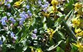 Pulmonaria and Toad Lilies