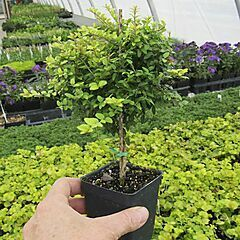 Boxwood Honeysuckle, Tree Form, Goldie
