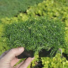 Sagina subulata, Irish Moss Ground Cover, Pack of 4 Plants
