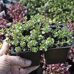 Sedum spurium Dragon's Blood, Ground Cover, Pack of 4 Plants