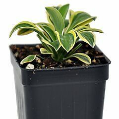 Hosta, Mighty Mouse